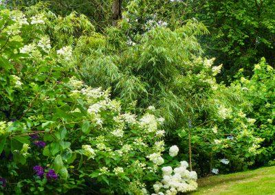 Le Jardin - Hydrangea paniculata et Fargesia denudata