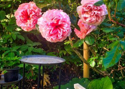 Le Jardin - Rosier Abraham Darby