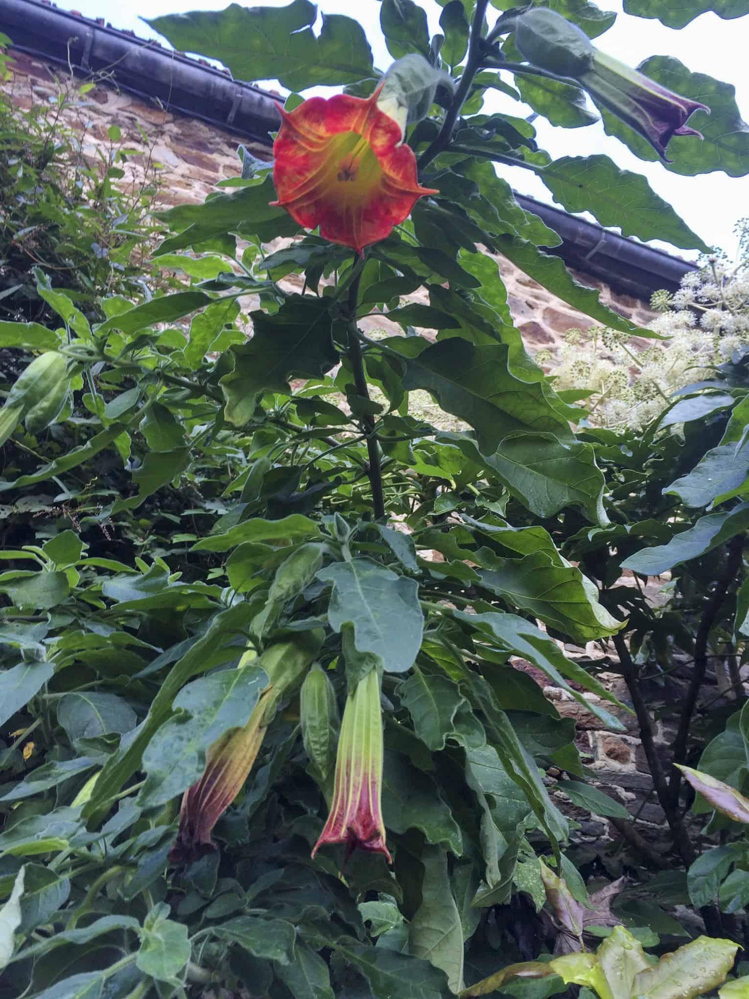 La Blanche Maison - Brugmansia sanguinea